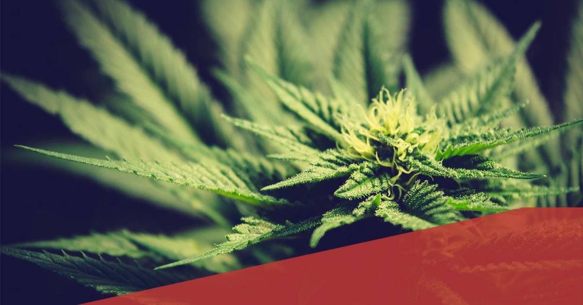 Pourquoi définir un cadre légal pour les cannabis social clubs?